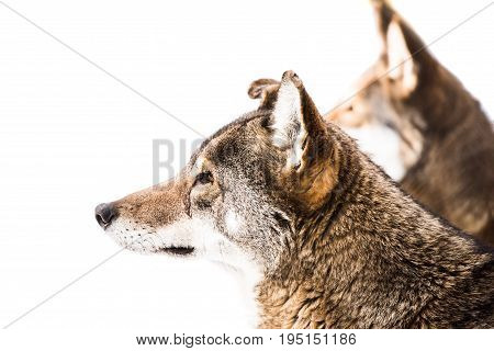 Profile Portrait of a Red Wolf Pair in Snow