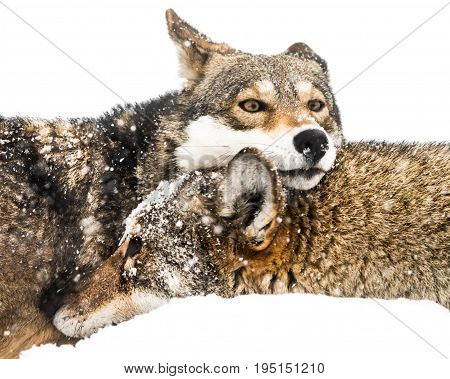 Snow Covered Red Wolf Pair Cuddling in the Snow