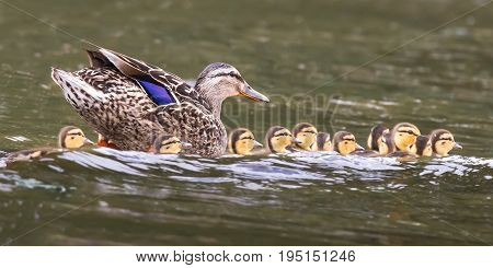 Mallard hen with brood of baby ducks