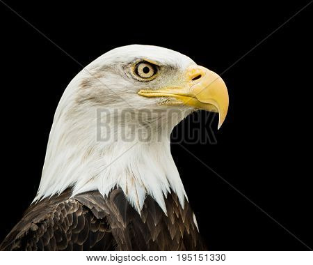 Profile portrait of Bald Eagle Against a Black Background