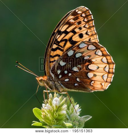 Profile Portrait of a Perching Aphrodite Fritillary Butterfly