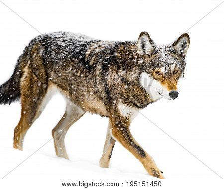 Snow Covered Female Red Wolf Walking in the Snow