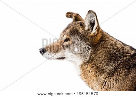 Profile Portrait of a Red Wolf in Snow
