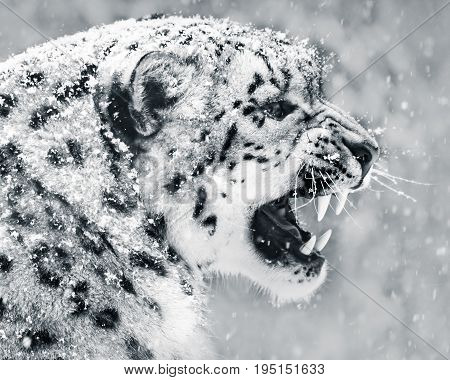 Profile Portrait of Snarling Snow Leopard in Snow Storm
