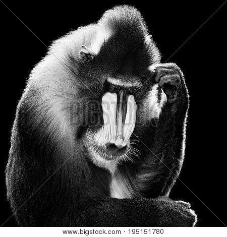 Black and White Backlit Male Mandrill Against a Black Background