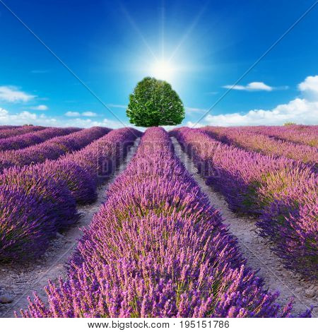 a Lavender flower blooming scented fields in provence