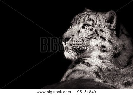 Profile Portrait of a Resting Snow Leopard Against a Black Background