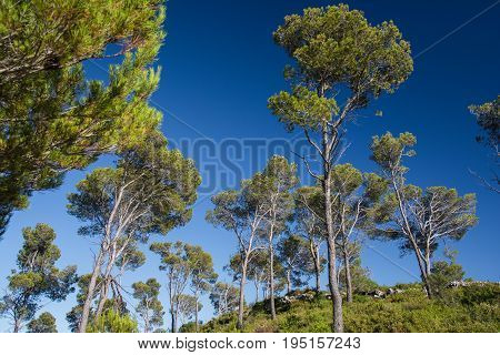 Pine trees above the town of Estartit on the Costa Brava