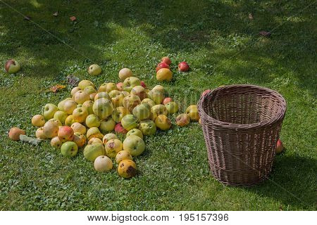 heap of apples at the garden lawn and empty wicker basket