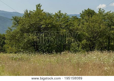 Beautiful landscape of summer nature with glade, fragrant blossom  wildflower and forest, Central Balkan mountain, Stara Planina, Bulgaria