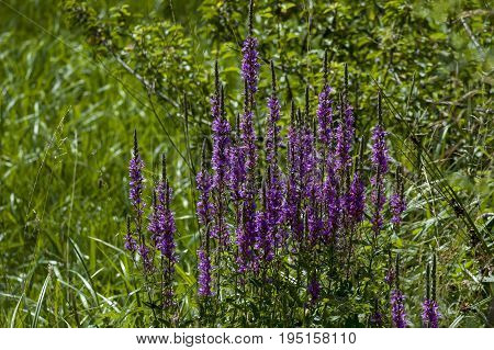 Blooming fresh heather or Celluna vulgaris in the meadow, Central Balkan mountain, Stara Planina, Bulgaria