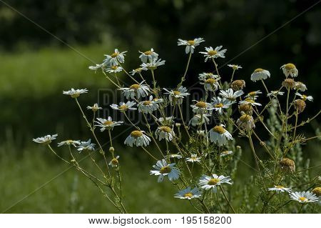 Twig of daisies  or camomile in the glade, Central Balkan mountain, Stara Planina, Bulgaria