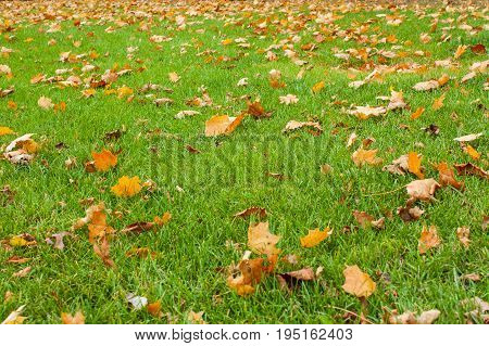 Background of colorful autumnal leaves in the grass. Golden autumn. Green meadow covered with fallen leaves. Falling maple leaves and green grass on ground. Autumn leaves on lawn. Background of colorful autumnal leaves in the grass. Golden autumn.