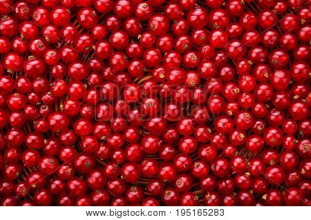 A close-up picture of a ripe, tasty and bright red currant. Mature, juicy, raw, fresh, tasty, healthy, nutritious concept. Berries for vegetarian food.