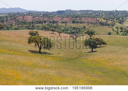 Cork Trees In A Yellow Flowers Field In Vale Seco, Santiago Do Cacem