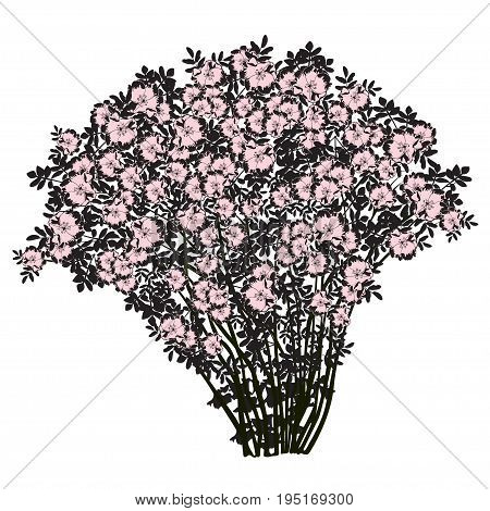 Big bush of a dogrose (Rosa majalis) the black drawing with flowers of cold-pink color the vector image on a white background