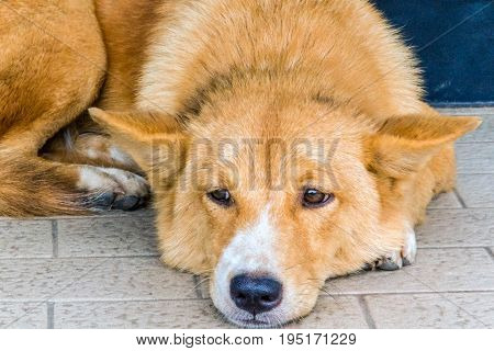 Closeup brown color Dog crouched on the floor