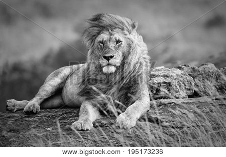 Mighty and beautiful lion resting in the African savannah black and white Kenya