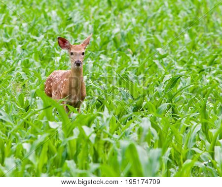 Fawn standing in a cornfield looking at the camera