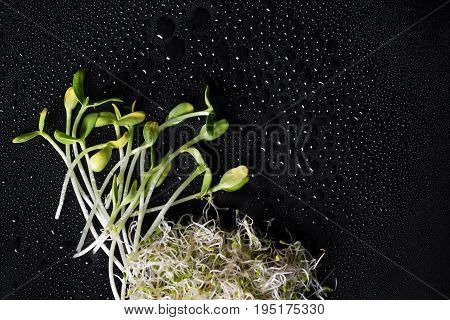 Mixed organic micro greens on black background with water drops. Fresh sunflower and heap of alfalfa micro green sprouts for healthy vegan food cooking. Health, diet concept.Cut microgreens, top view.