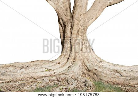 The bottom of a  large tree with strong roots ,isolated on white background