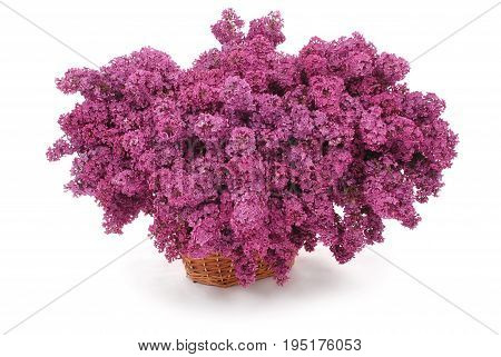 Purple lilac flowers in basket isolated on white background with soft shadow