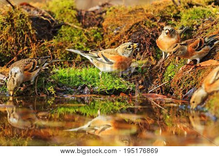 Forest birds among autumn fallen leaves, Wildlife, autumn day, brambling, fringilla montifringilla