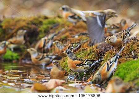 Colored birds among autumn fallen leaves, Wildlife, autumn day, brambling, fringilla montifringilla