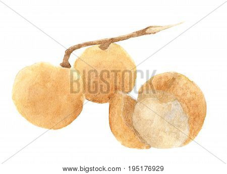 Fresh longan fruit isolated on white background, with clipping path. watercolor illustration tropical fruit.