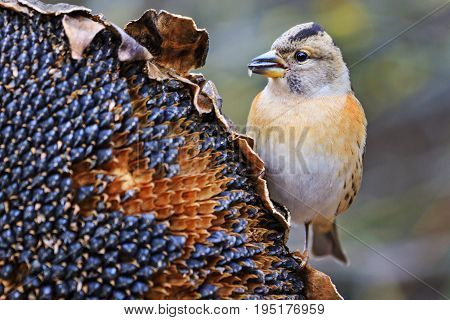 forest bird on sunflower breaks down the seeds.Wildlife, autumn day, brambling, fringilla montifringilla