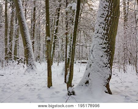 Winter landscape of natural forest with old oak trees snow wrapped, Bialowieza Forest, Poland, Europe