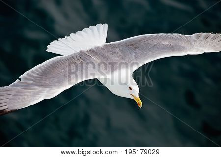 Seagul flying over the sea