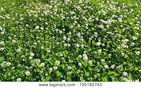 Nature background of white clover in a summer meadow