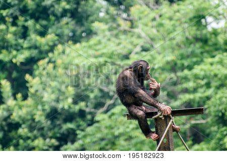 Chimpanzee playing in a zoo at kolkata, West bengal , India.