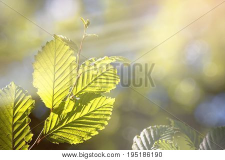 Beautiful summer background with dappled sunlight and green leaves. Bokeh and light leaks with space for your text.