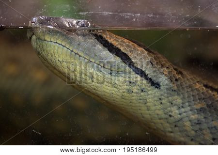 Green anaconda (Eunectes murinus). Wild life animal.