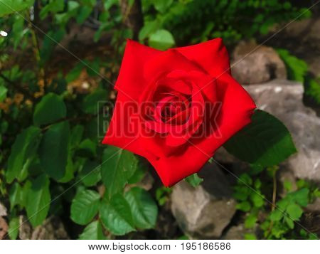 Repaired Red Rose
