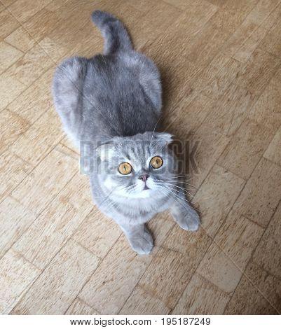 a cute scottish fold cat in gray