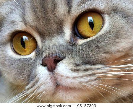 big amber eyes of a lobely cat