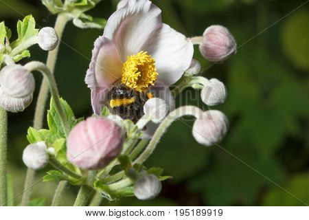 Bumblebee collects pollen on flowers and pollinates them