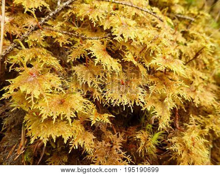 Unkempt yellow moss in the big forest