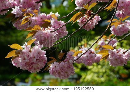 Blossom tree Sakura Prunus serrulata in the garden