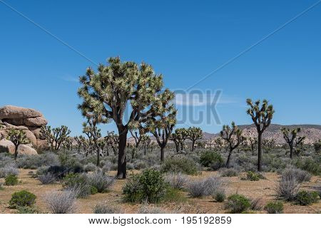 Blue Sky Day Over Joshua Tree And Boulders