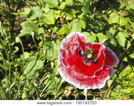 The bees collect sweet nectar on the red decorative poppy.