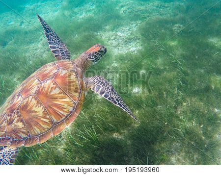 Green turtle swims above sea grass. Sea turtle underwater photo. Snorkeling or diving with tortoise. Wild green turtle in tropical lagoon. Sea environment with animals and seaweeds. Marine tortoise