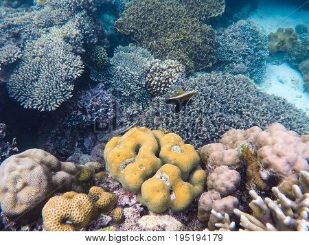 Coral reef and tropical fish. Heniouchus underwater photo. Brown and white butterflyfish. Butterfly fish in pink and yellow corals. Tropical seashore flora and fauna. Snorkeling in tropic seawater