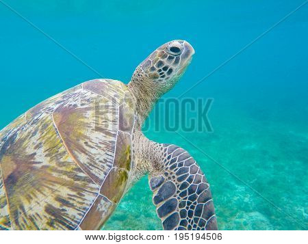 Green sea turtle closeup in shallow sea water. Sea tortoise closeup. Snorkeling or diving with tortoise. Wild green turtle in tropical lagoon. Sea environment with animals and seaweeds. Marine turtle