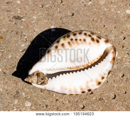 Large and small sea shells in a small live marine cancer with bulging eyes