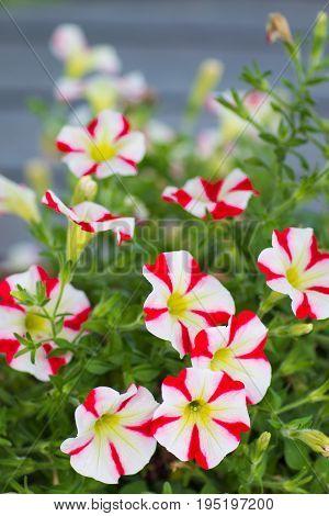 Red and white Calibrachoa flowers, Million bells,Multi-coloured Petunia hybrid flowers