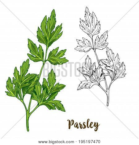 Full color realistic sketch illustration of parsley, vector illustration
